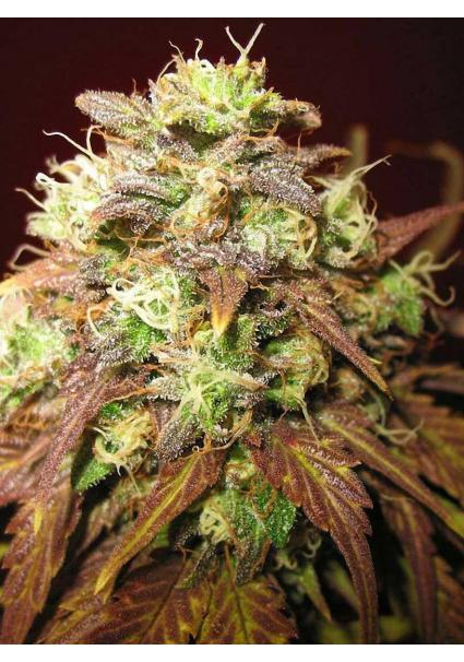 Flor de la marihuana confidential