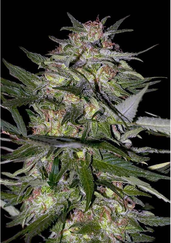 JACK PLANT