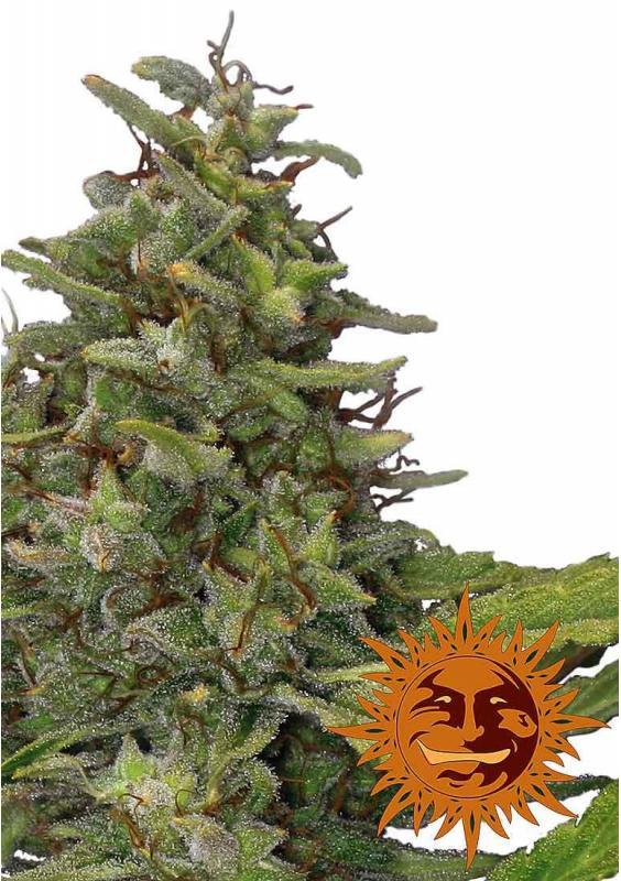 G13 Haze | Feminized Marijuana Seeds