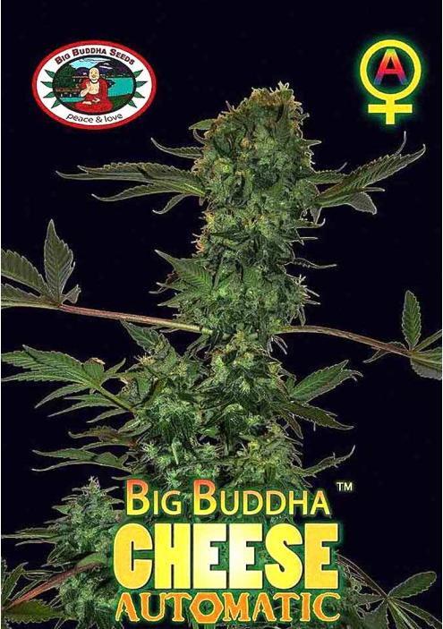 BIG BUDDHA CHEESE AUTOMATIC