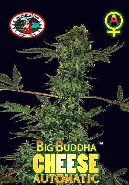 BIG BUDDHA CHEESE AUTOMATIC