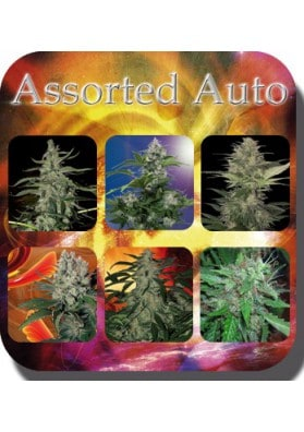 Assorted-buddha-seeds