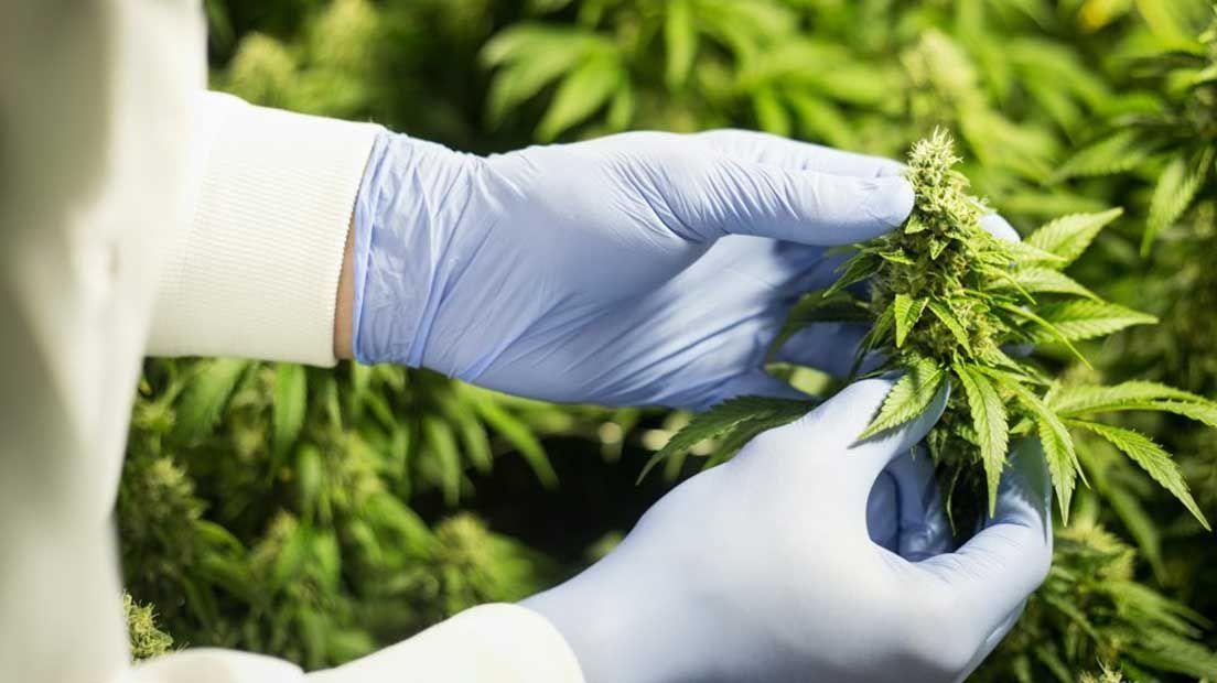 how much production marijuana plant