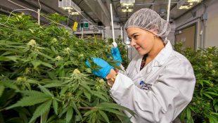 how much produce a cannabis plant?