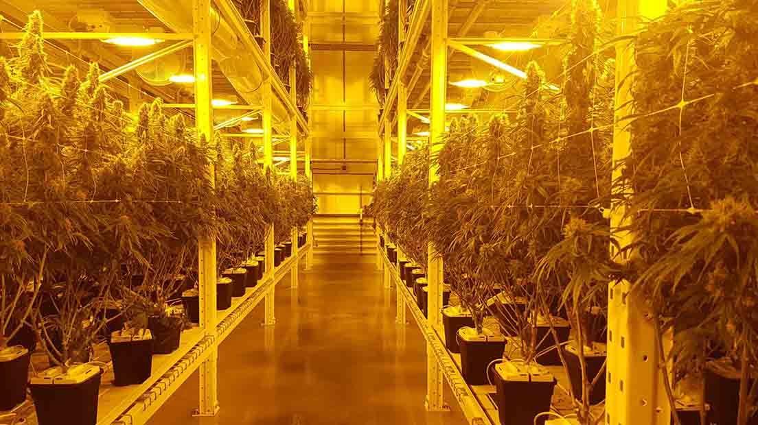 lights maximize cannabis production