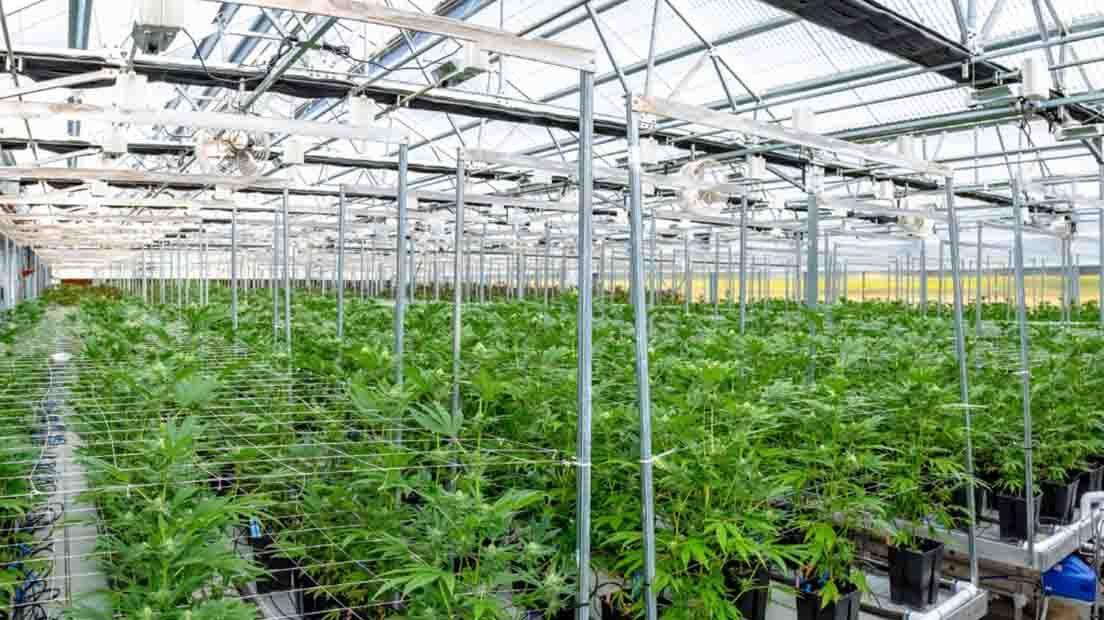 scrog maximize  cannabis production