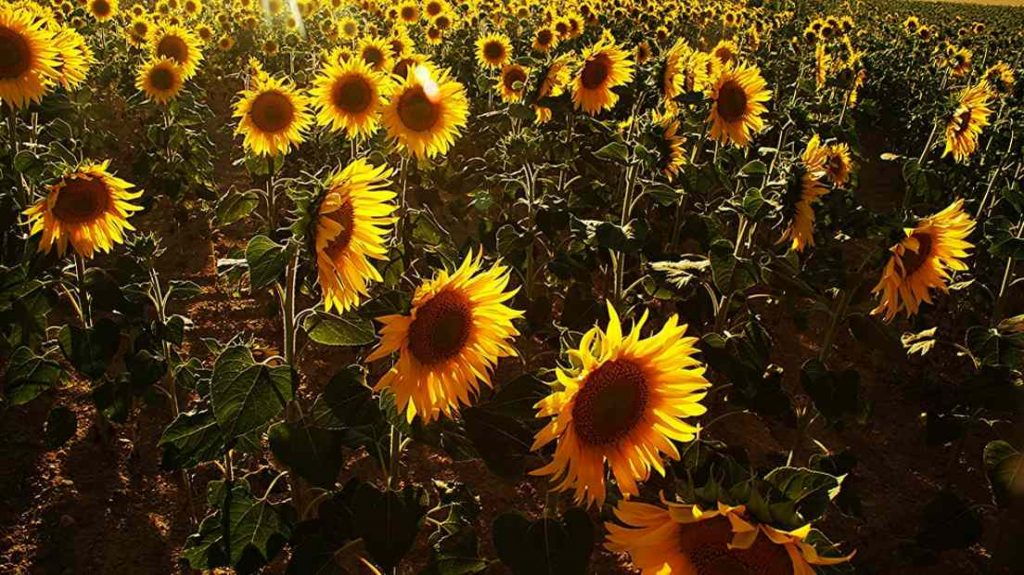 other cannabinoid producing plants sunflowers