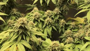 The Best Marijuana: The Definitive Strains Ranking