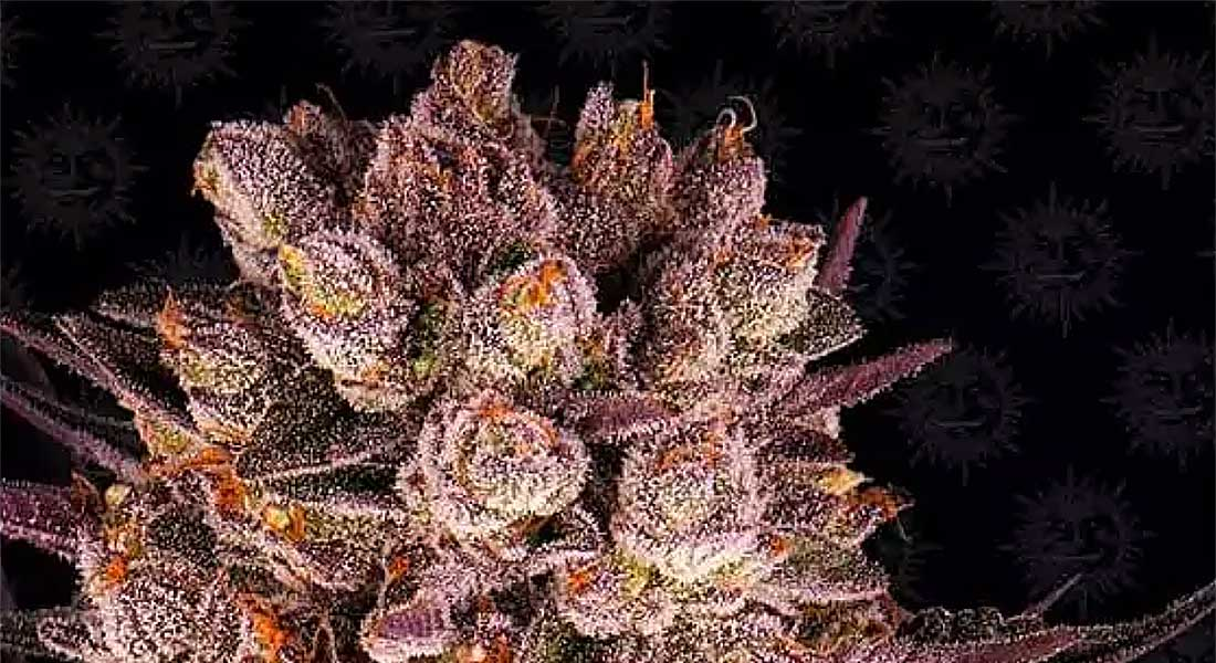Top Strongest Cannabis Strains of 2021