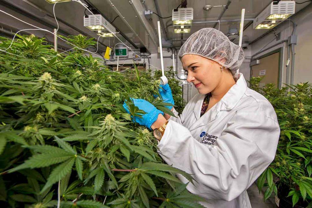 Quanta marijuana produz uma Planta?