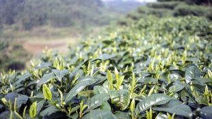 Planta de chá com Flavonoides