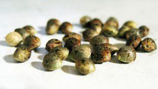 como germinar sementes canabis