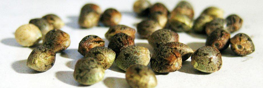 ¿Cómo germinar semillas de marihuana?