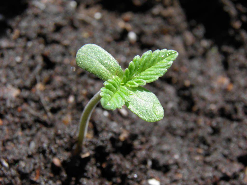 germinar semillas de marihuana