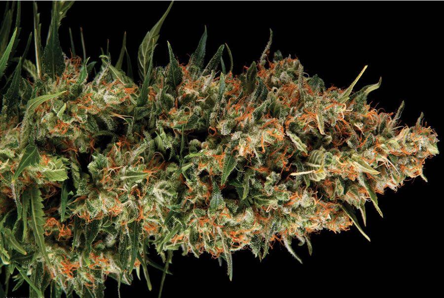 Marihuana Wembley feminizada | Pyramid Seeds