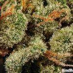 moby dick marihuana dinafem