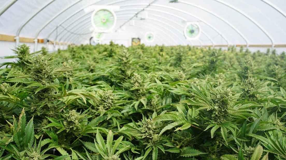 La mayoría de growers novatos suelen regar la marihuana en exceso