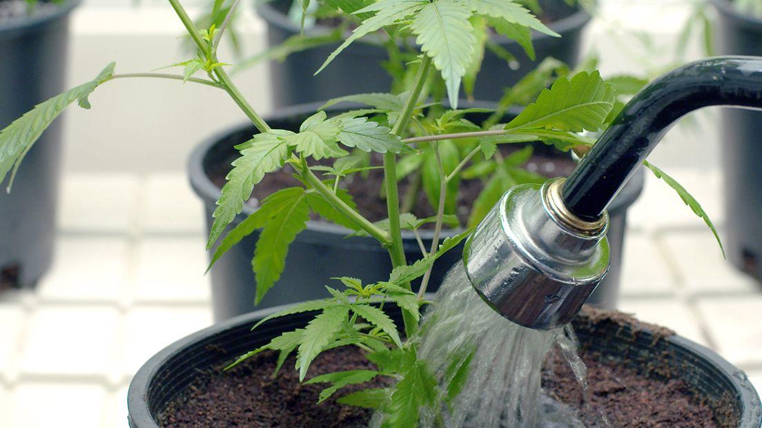 Regar la marihuana es un proceso fundamental para su crecimiento.