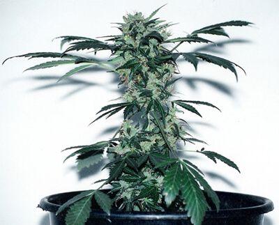 lowryder-marijuana