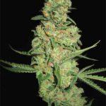 marihuana galaxy
