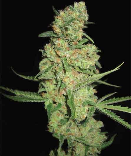 Marihuana Pyramid Seeds Galaxy autofloreciente