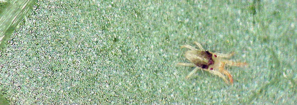 La araña roja, detección, depredadores y métodos de eliminación