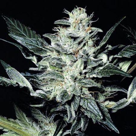 cogollo de la marihuana sensi star