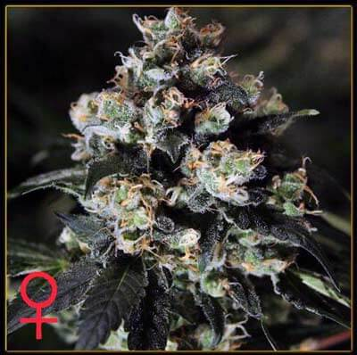 Jack Herer | Greenhouse Seeds