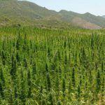 cuando cosechar la marihuana