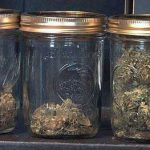 curado cogollos de marihuana