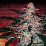 marihuana deimos