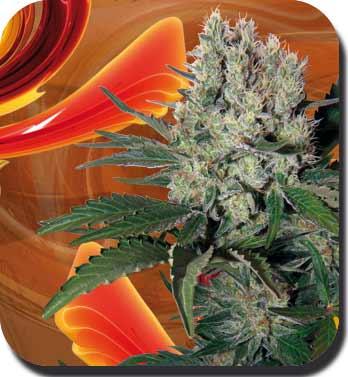 foto oficial de la marihuana syrup autofloreciente