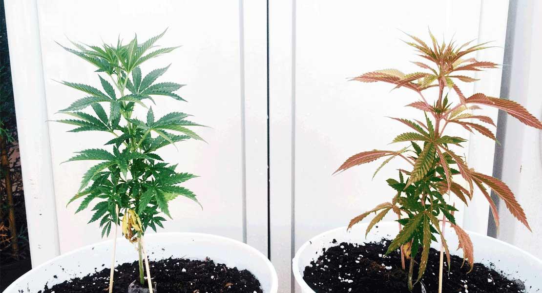 Soluciones a errores en el cultivo de marihuana