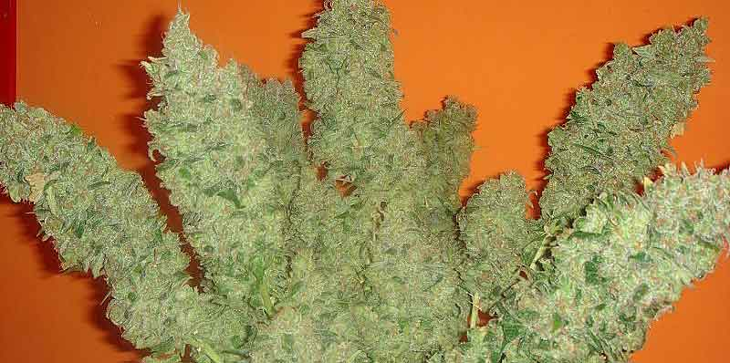 Jack la mota | Medical Seeds
