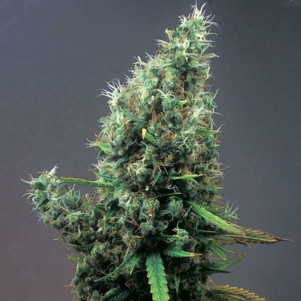 Cum-laude-marihuana-positronics