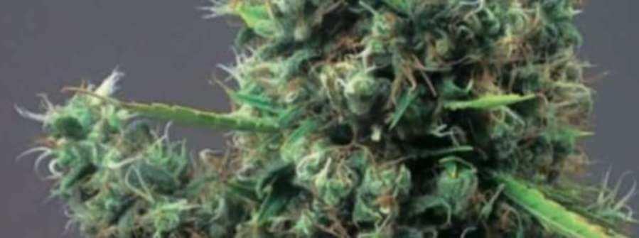 Cum Laude, una marihuana super sativa y superlativa