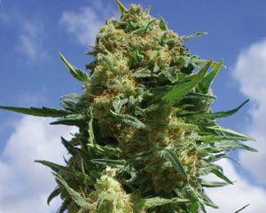 marihuana Black Widow