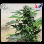 marihuana blue rhino positronics