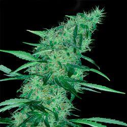 Marihuana Somango 47