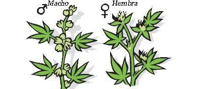 Marihuana macho y hembra