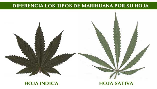 diferencias hoja marihuana sativa