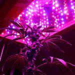 leds cultivo marihuana cannabis experiencia natural