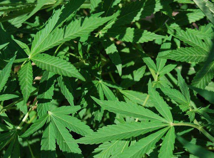 Cómo resolver problemas con tu planta de Marihuana?