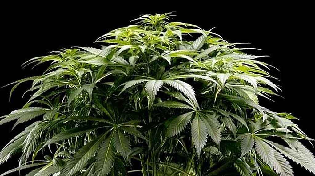 El nino marihuana