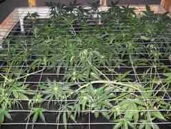 crecimiento en cultivo SCROG
