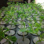 cómo hacer clones de marihuana