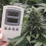 calor: cómo cultivar marihuana en verano