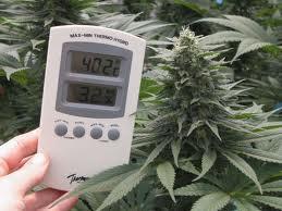 Trucos para cultivar marihuana en verano: llega el calor austral