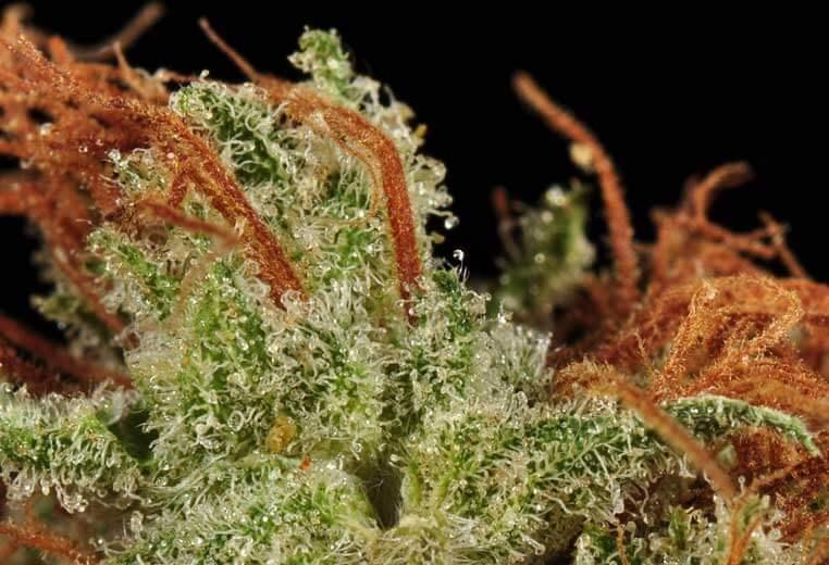 Las 10 mejores semillas de marihuana: clásicos y novedades