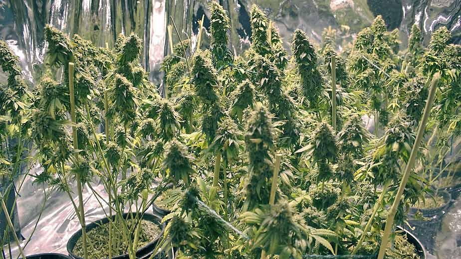 ¿Cómo cultivar la mejor marihuana del mundo?